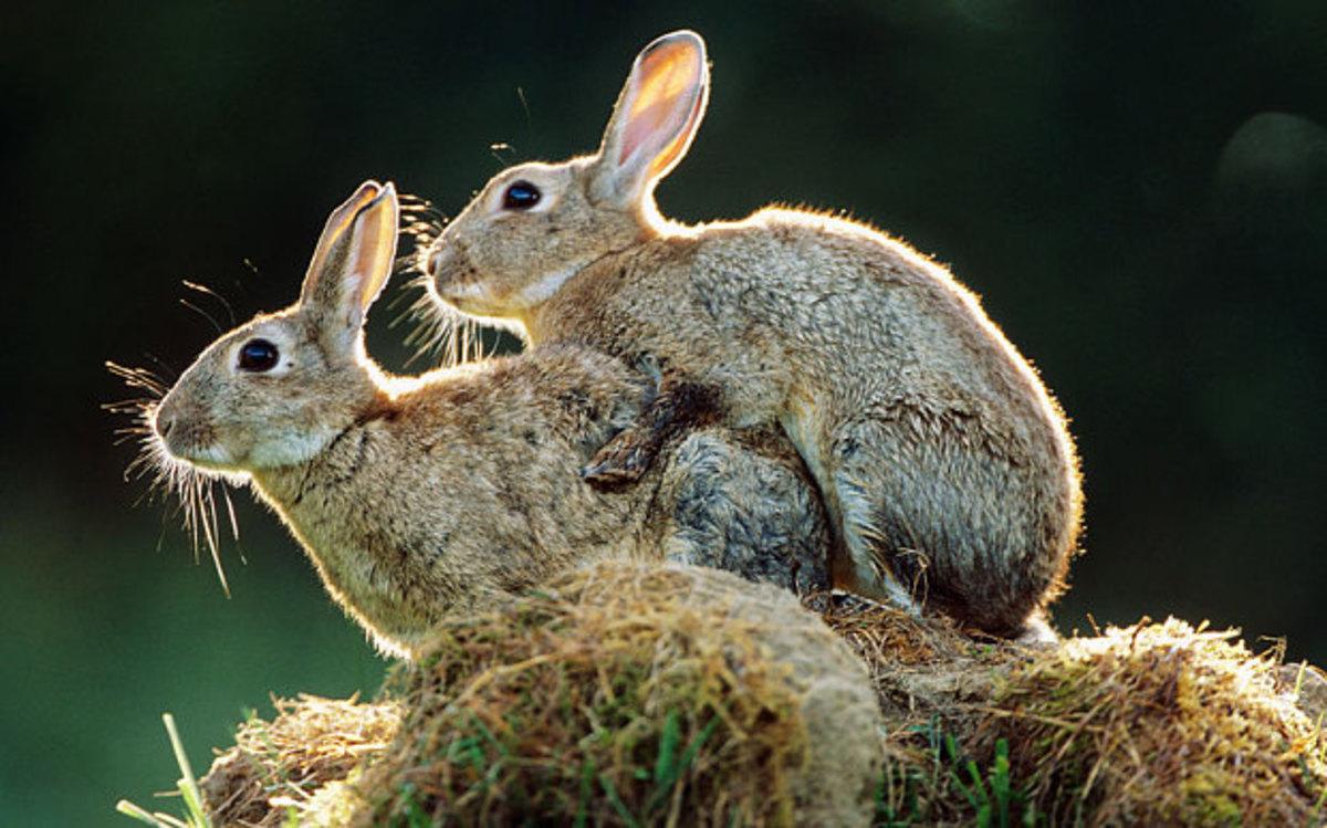 Картинки как размножаются кролики