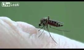 Πως τσιμπάει το κουνούπι- Απίστευτο βίντεο