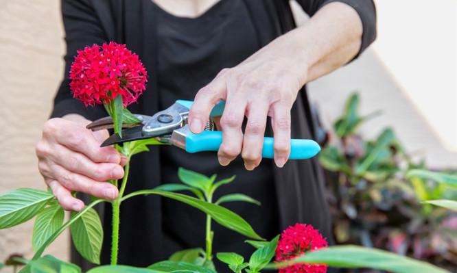 Arthritic seniors hands cutting flowers