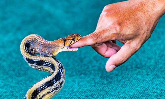 The snake Coelognathus radiatus biting a finger - selective focus