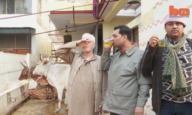 ούρα αγελάδας