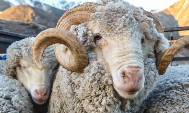 σπέρμα πρόβατα