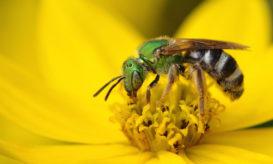 μέλισσες μάτι