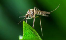 τροπικά νοσήματα κουνούπια