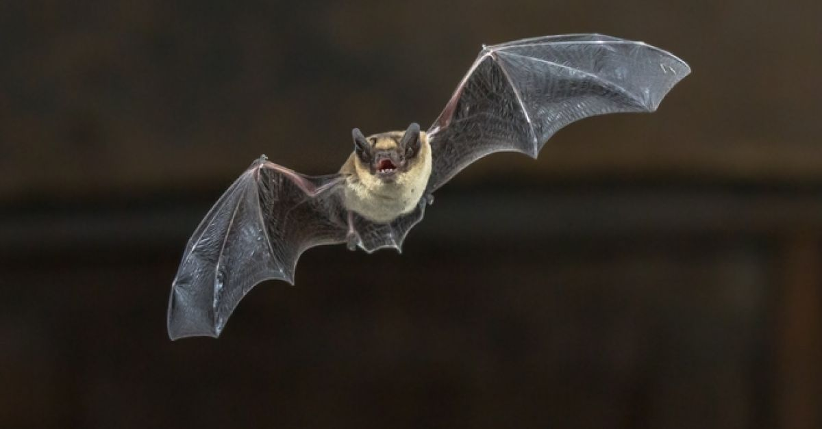 Κορωνοϊός: Η νυχτερίδα και όχι ο παγκολίνος μετέφερε τη νόσο COVID-19 στον  άνθρωπο - Iatropedia